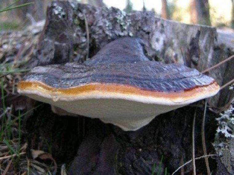 фото губка лиственничная