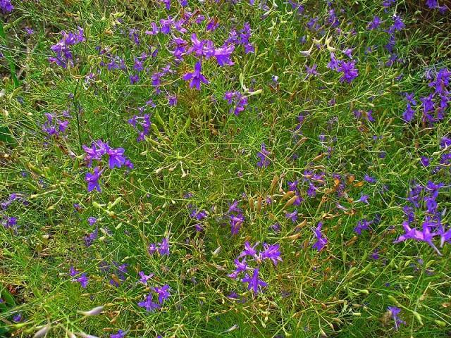 трава жеруха