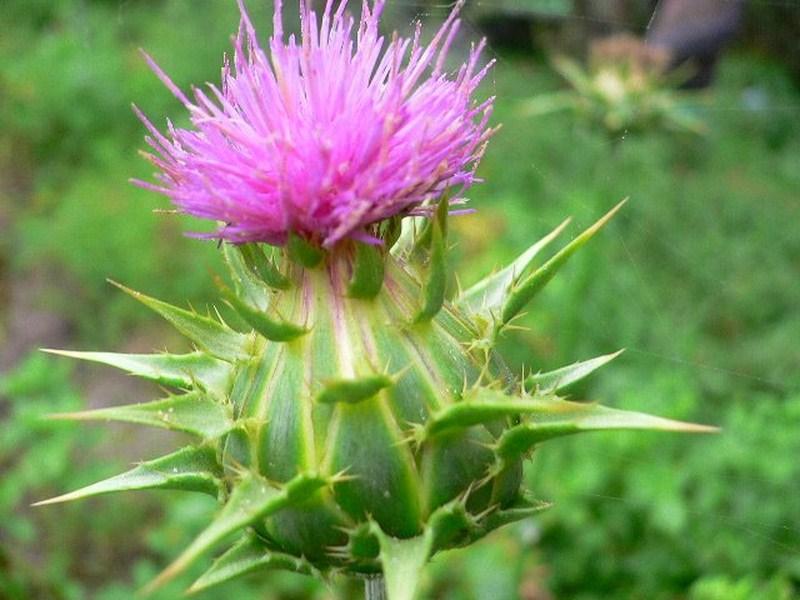 Каковы лечебные свойства расторопши и где её применяют?