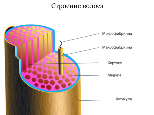 Как устроен волос на голове