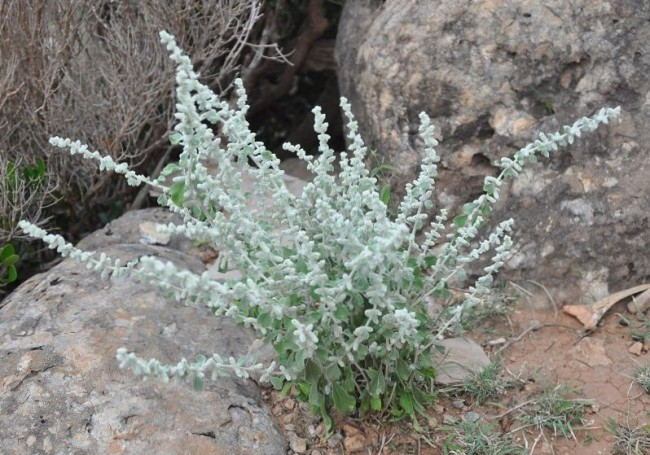 Эрва шерстистая или трава пол-пала